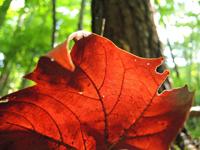 MaxwellJohnson-sycamore-leaf-200