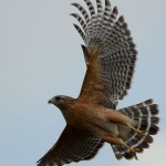 red-shouldered_hawk_taking_flight